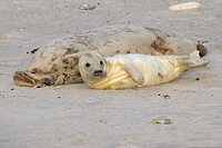 Grey Seal (Halichoerus grypus), female with young