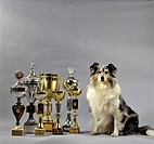 Multiple-champion Shetland Sheepdog (Sheltie)