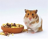 Syrian Hamster or Golden Hamster Mesocricetus auratus in front of feeding dish