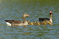 Greylag Geese (Anser anser), family with chicks