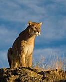 A Mountain Lion Walks Sits and Looks