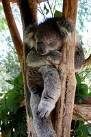 australia, melbourne area, koala al healesville sanctuary