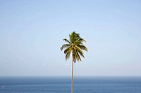 Palm tree, Martinique, Caribbean