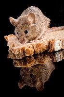 Mouse on a slince of bread