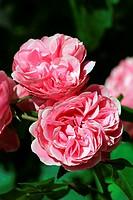 Rose cultivar Leonardo Da Vinci - floribunda rose (Rosa Leonardo Da Vinci)