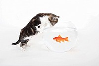 Goldfish glass, cat, young, kitten, cute, fear, menace, threat, fish, danger, glass, goldfish, pets, water, caught, or