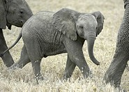 African Bush Elephant (Loxodonta africana), baby walking between cow elephants, Serengeti, Tanzania
