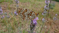 Melitaeini, butterfly, detail, flower, meadow, insect, butterflies, nature, zoology, insects