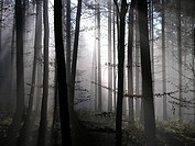 Switzerland, Europe, forest, trees, woods, wood, trunks, silhouette, silhouettes, nature, landscape, scenic, scenery,
