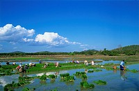 Asia, Thailand, Northern Thailand, Asia, Chiang Mai, Rice Planting, Rice Paddies, Rice Paddy, Rice Fields, Rice Farmin