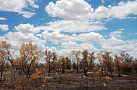 Australian bush landscape after a light bush fire, Nothern Territory, Australia