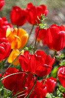 Garden, Tulips, red, flowering, flower, flowers, blooming, spring, springtime, nature, detail, close_up