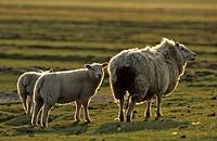 Sheep Schleswig-Holstein Germany