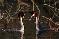 Great Crested Grebes, Podiceps cristatus, mating