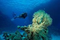 Fire coral, Millepora tenella, Coralblock in blue water, Egypt, Red Sea.