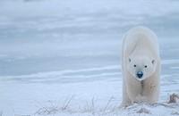 Polar bear (Ursus maritimus), Hudson Bay, Canada, North America