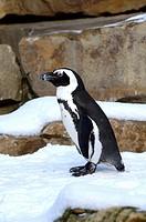 Penguin Spheniscus demersus