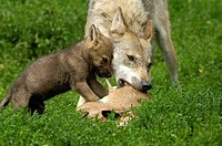 European young wolves canis lupus