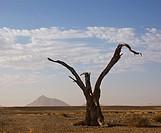 Dead tree, Namib Desert, Namibia, Africa