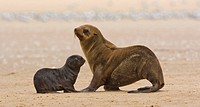 South African Fur Seal, mother and baby, Namibia, Africa