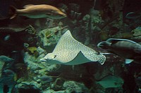 Sting Ray glides through the water