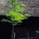 a Little Bamboo Tree With Its Leaves, Front View