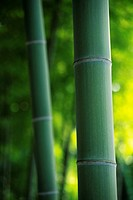 a Bamboo Tree, Surrounded By a Green Environment, Front View, Differential Focus