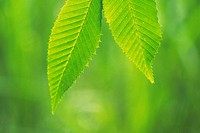 Tender Green, Close Up