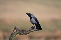 Hooded crow, corvus corone cornix,
