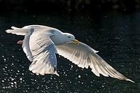 Herring Gull, (Larus argentatus),