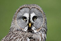 European Grey Owl, strix nebulosa