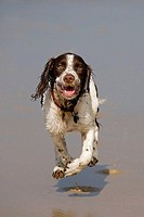 English Springer Spaniel running on Beach