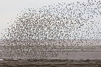 Knot Flock and other waders in flight The Wash Norfolk UK