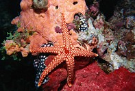 Starfish and soft corals, Hurgada, Red Sea, Egypt, North Africa, Africa