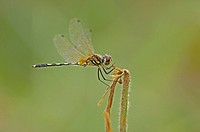 Dragon fly, Aeschna spec.