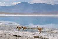 Wild vicunas on borax mineral flats, Laguna Verde, with mineral flat margin, Southwest Highlands, Bolivia, South America