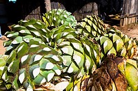 Close_up of maguey plants, Hierve El Agua, Oaxaca State, Mexico
