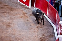 High angle view of a bull running in a bullring, Plaza De Toros San Marcos, Aguascalientes, Mexico (thumbnail)