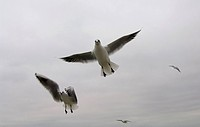 Common Gull (Larus canus)