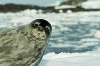 Weddel Seal, Antarctica