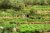High angle view of a vineyard, Cinque Terre National Park, La Spezia, Liguria, Italy