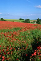 Landscape of a field of red poppies in flower in summer, near Beauvais, Picardie Picardy, France, Europe