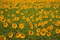Field of Sunflowers, Sevastopol, Crimea, Ukraine, South_Easteurope, Europe,