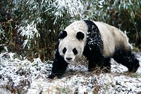 Great, giant Panda, Ailuropoda melanoleuca, Wolong Valley, Himalaya, China
