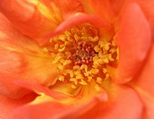Macro, closeup: Rose blooms with orange stamens and stamp