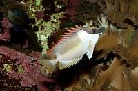 Foxface Rabbitfish, Siganus unimaculatus, side