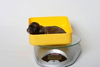 Tibetan Spaniel, puppy, 2 days, scales