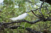 White tern, Bird Island, Tikehau, Tuamotu Archipelago, French Polynesia, Pacific Islands, Pacific