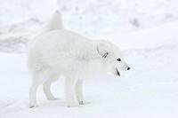 Arctic fox Polar fox Alopex lagopus, Churchill, Hudson Bay, Manitoba, Canada, North America