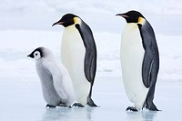 Emperor penguins Aptenodytes forsteri and chick, Snow Hill Island, Weddell Sea, Antarctica, Polar Regions